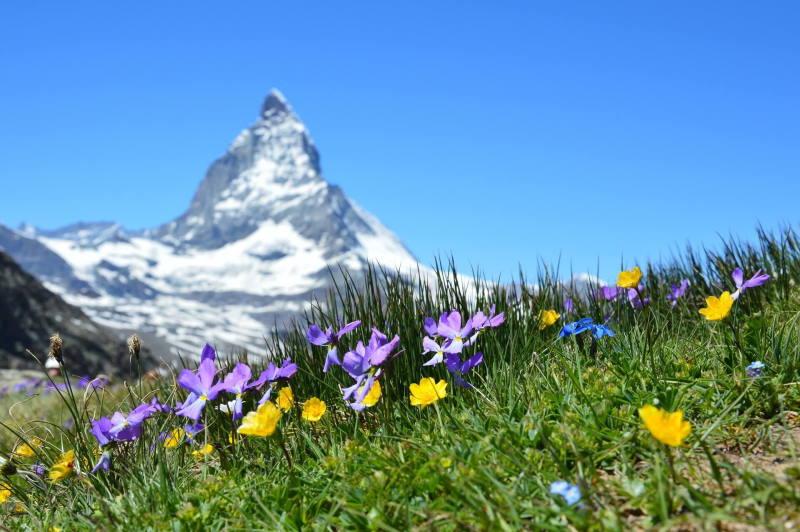 Alpenwiese vor Gebirgspanorama