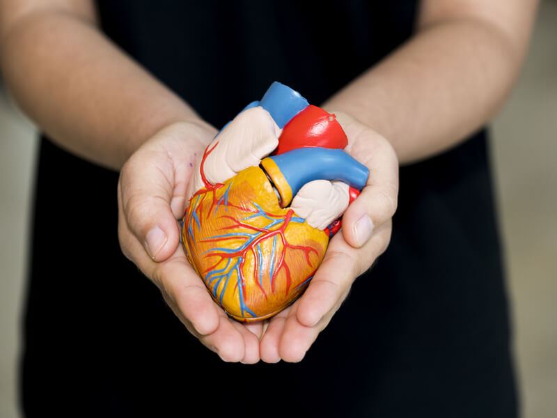 Organspende Frau hält Herzmodell in der Hand